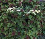 Rubus phoenicolasius permacultura