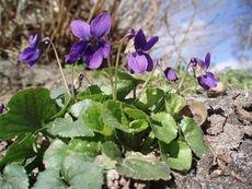 Viola odorata mammola permacultura