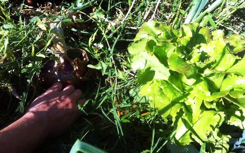 Mungitura ortaggi permacultura