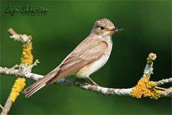 Pigliamosche birdgardening