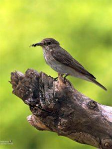 Pigliamosche uccello permacultura