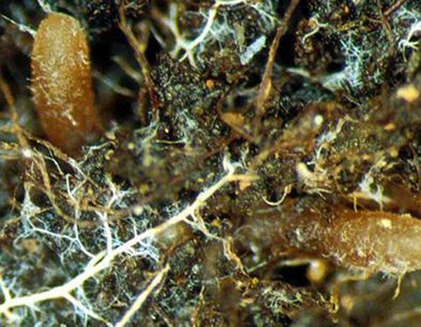 radici ife micellio suolo