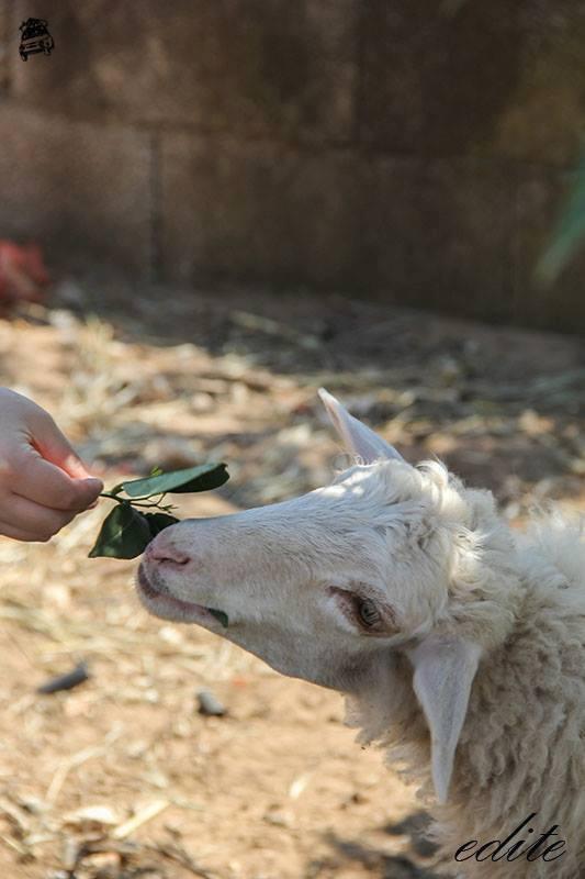 pecore permacultura comiso