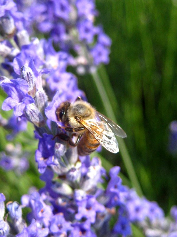 lavanda pollinatori sara elke carozzo